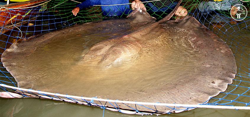 Raie Géante d'Eau Douce / Giant Freshwater Stingray