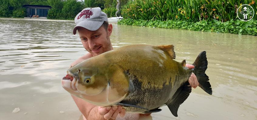 Poisson Tambaqui / Tambaqui Fish